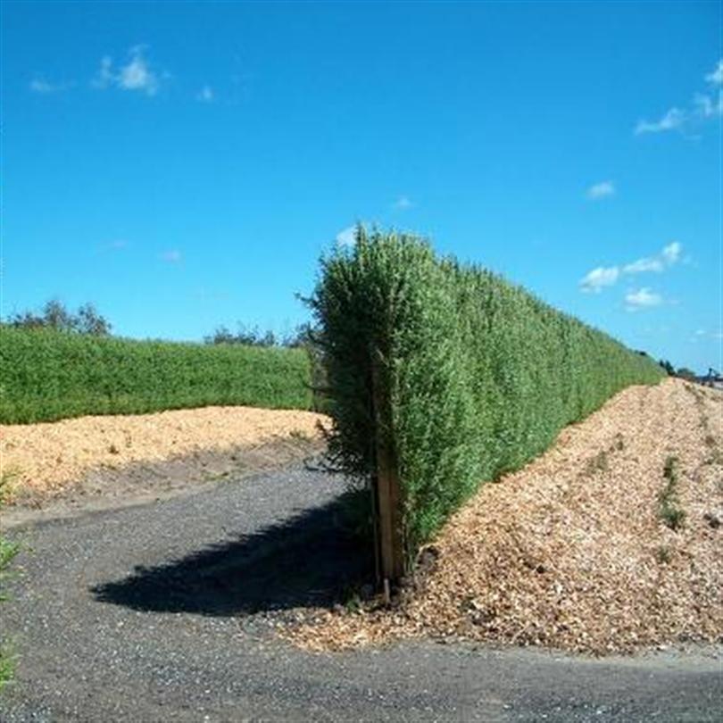 bg bullerskydd av pilträd